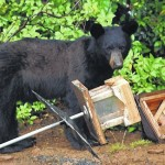 Food is central issue in statewide black bear sightings